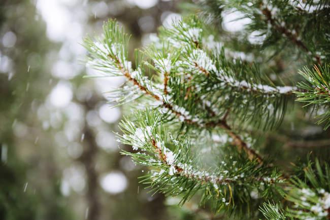 Primer plano de agujas de pino mientras nieva sobre fondo borroso - foto de stock