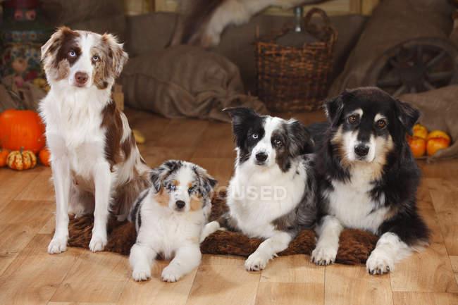 Pastore australiano e tre cani da pastore australiani in miniatura sul pavimento in legno nel fienile — Foto stock