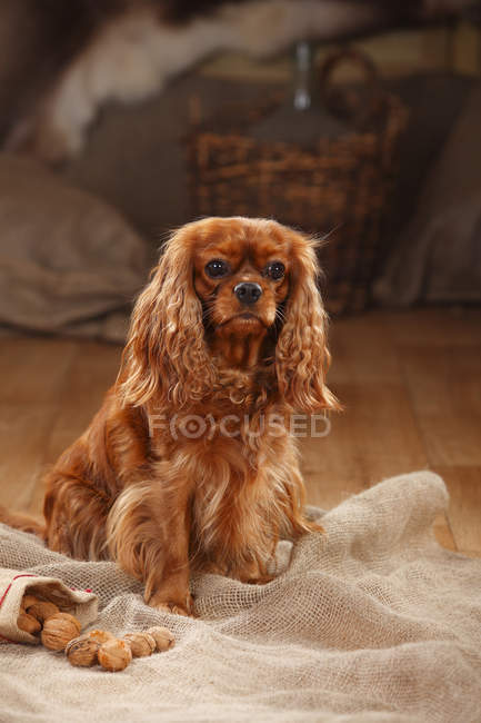 Cavalier King Charles Spaniel, assis sur un sac dans la grange — Photo de stock