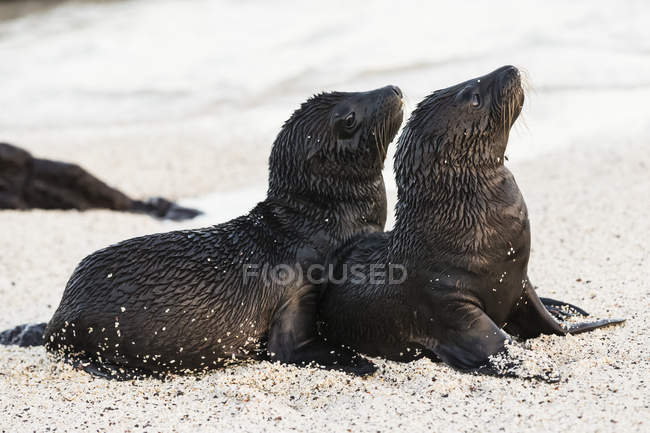 Vista diurna di due giovani leoni marini bagnati sulla sabbia — Foto stock