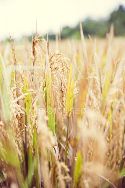 Gros plan des plants de riz dans les champs le jour, Bali, Indonésie — Photo de stock