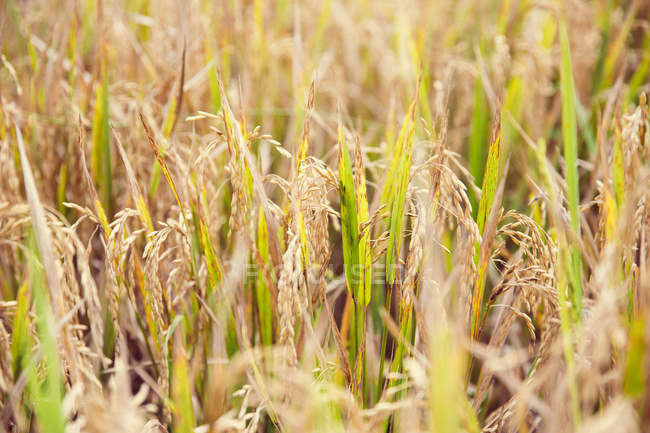 Closeup of rice plants in field at daytime, Bali, Indonesia — Stock Photo