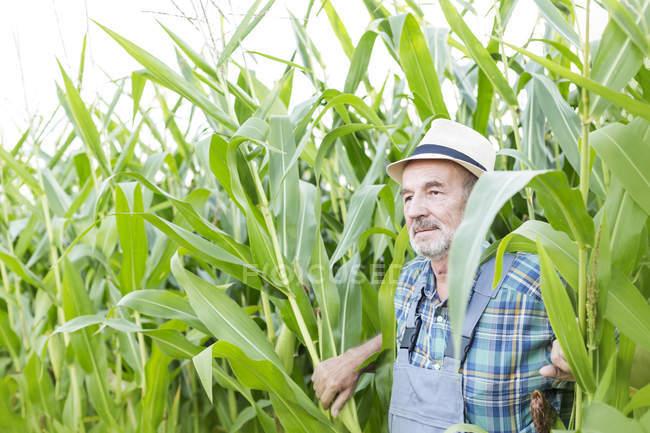 Paysan debout dans le champ de maïs — Photo de stock