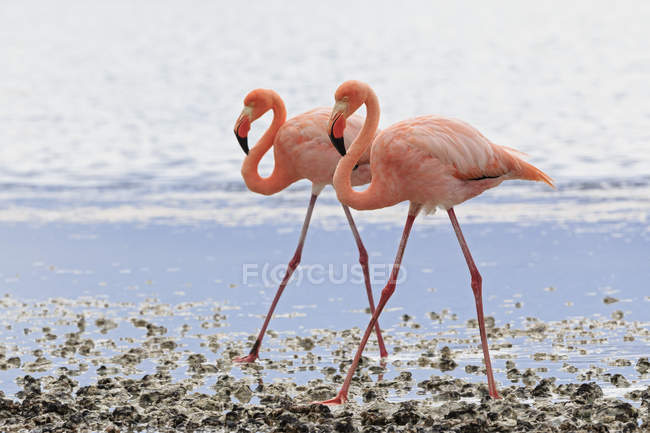 Two pink flamingos walking side by side in a lagoon — Stock Photo