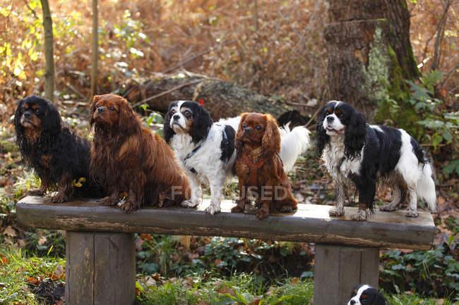 Группа Короля-кавалера Чарльза Спаниелса сидит на деревянной скамейке в парке — стоковое фото