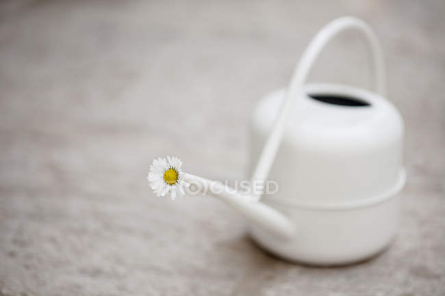 Daisy blossom in white watering can on stone floor — Stock Photo