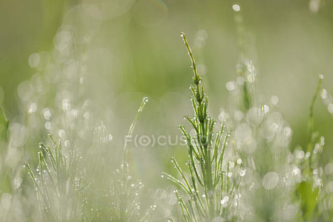 Обыкновенный хвост или полевой хвост, Equisetum arvense, с капельками росы — стоковое фото