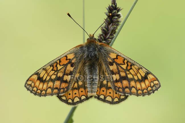 Шашечница Авриния бабочка — стоковое фото