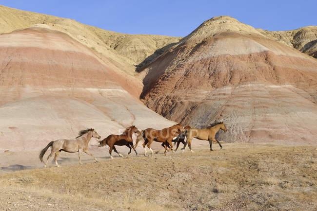 США, штат Вайоминг, Big Horn горы, пять галопом диких лошадей — стоковое фото