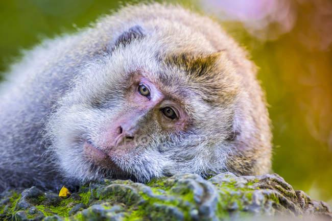 Крупным планом уставшей обезьяны в лесу Святой Обезьяны, Индонезия, Бали, Убуд — стоковое фото