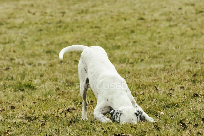 Собака на луг нюхає — стокове фото