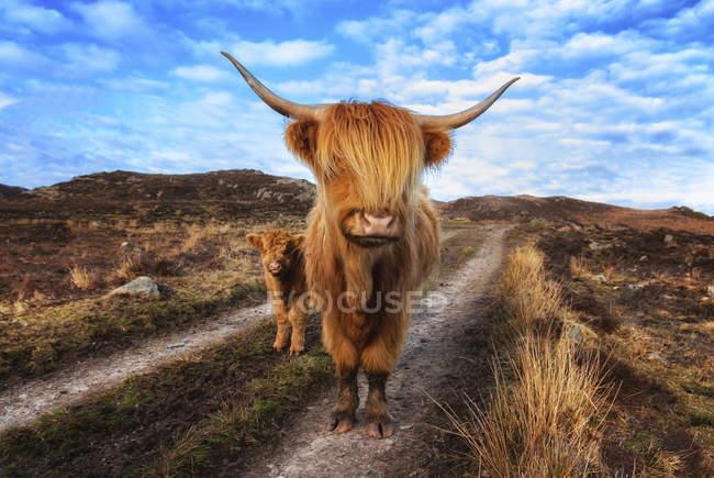 Highland великої рогатої худоби з теля в Laide проти неба — стокове фото