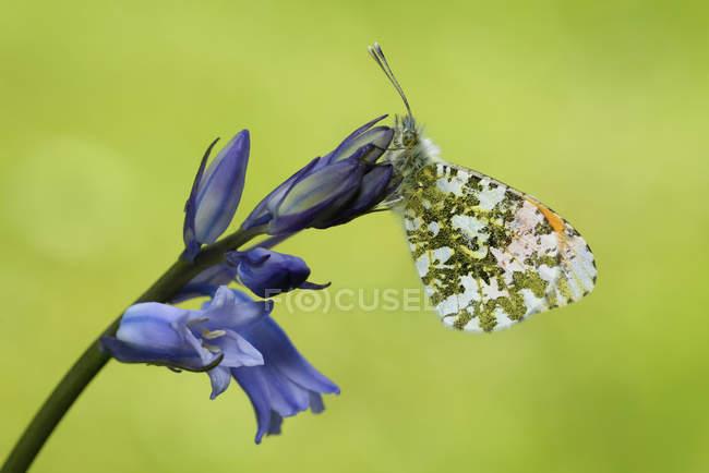 Помаранчевий наконечник метелик на на цвітіння — стокове фото