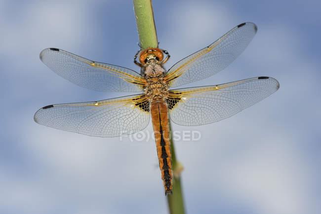 Libellula fulva dragonfly — стоковое фото