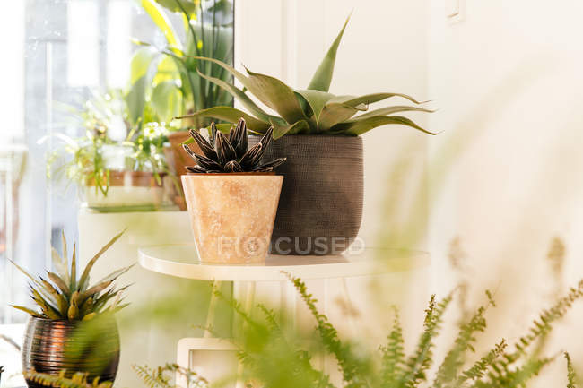 Verschiedene Agaven und Pflanzen in Blumentöpfe — Stockfoto