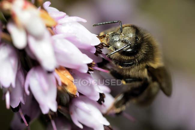 Abeille, Apis, sur une fleur — Photo de stock