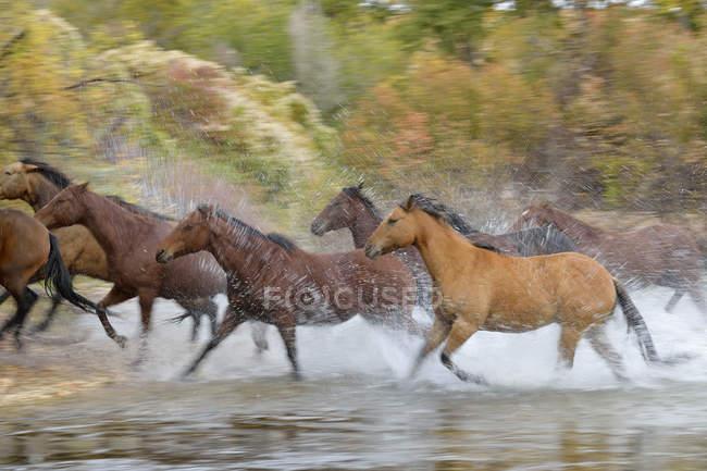Usa, wummern, Pferde, die über den Fluss laufen, verschwommene Bewegung — Stockfoto