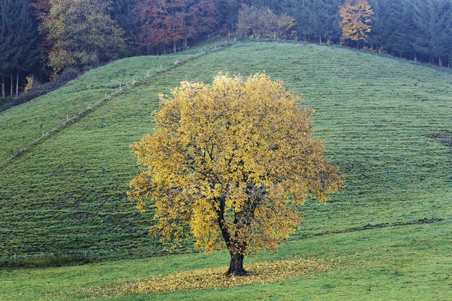 Germany, Bavaria, Bergen, tree over green grass in autumn — Stock Photo