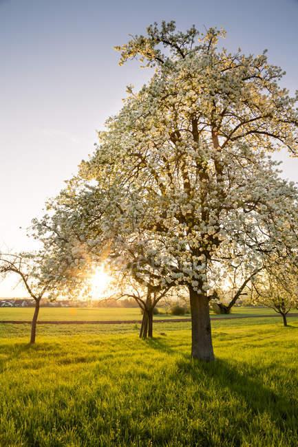 Германия, Баден-Вюртемберг близ Тубингена, цветущая груша на лугу с разбросанными по вечерам фруктовыми деревьями — стоковое фото