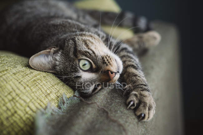 Rilassato gatto tabby sdraiato sul divano — Foto stock
