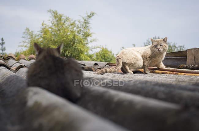 Due gatti cauti sul tetto di casa — Foto stock