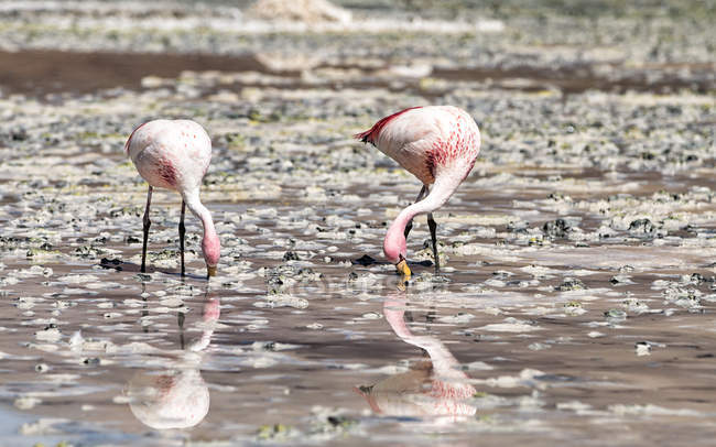 Bolivia, two Andean flamingos, Phoenicoparrus andinus, foraging in water of Laguna Hedionda — Stock Photo