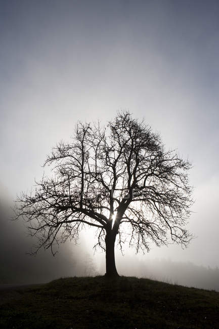 Austria, Mondsee, fruit tree in morning mist — Stock Photo