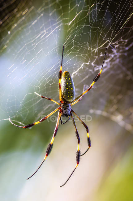 Vue de Golden orb-weaver, Nephila clavipes assis sur sa toile — Photo de stock