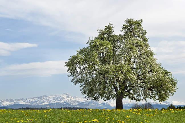 Швейцария, Тургау, цветущие фруктовые деревья, Saentis на заднем плане — стоковое фото