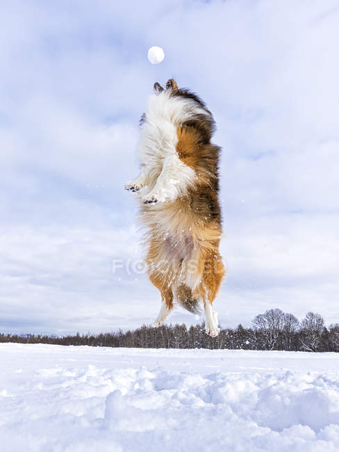 Germania, Shetland Sheepdog jumping, palla di neve — Foto stock