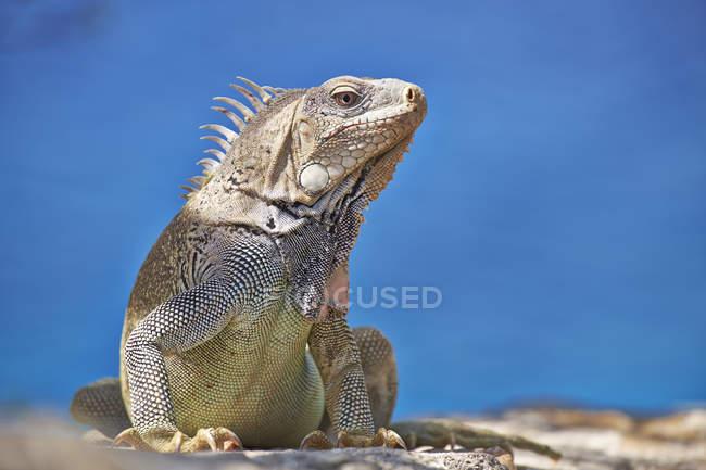 Caribbean Iguana  on blue — Stock Photo