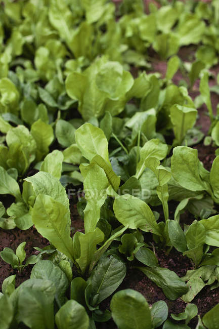 Fresh green salad growing in vegetable garden — Stock Photo