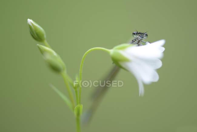 Demoiselle bleue commune, Enallagma cyathigerum sur fond vert flou — Photo de stock