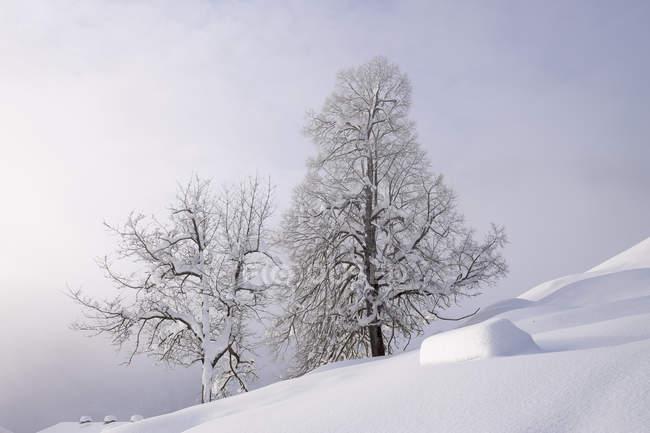 Alemanha, Bavaria, Alta Baviera, Mangfall montanhas, Hocheck perto de Oberaudorf, árvores cobertas de neve — Fotografia de Stock