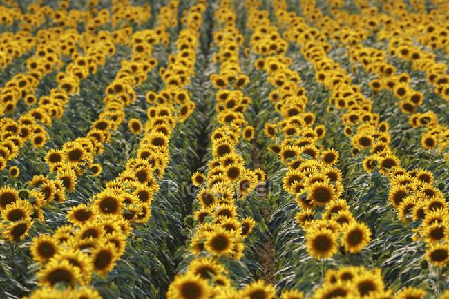 Áustria, Burgenland, Oslip, campo de girassol durante o dia — Fotografia de Stock