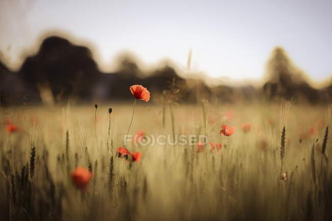 Austria, Poppy field in the evening — Stock Photo