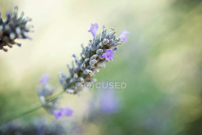 Closeup of lavender flower in green sunny field — Stock Photo