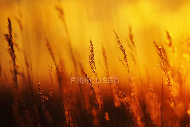 Germany, Fischland Darss Zingst, grasses at backlight — Stock Photo