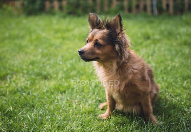 Cane Mixed della razza che si siede sul prato — Foto stock