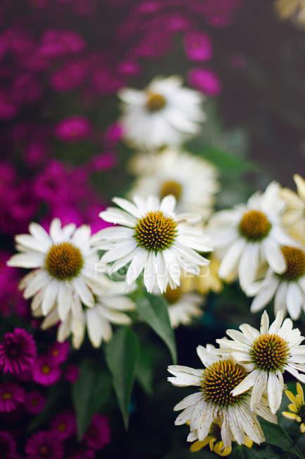 Detalle de flores multicolores en flor - foto de stock