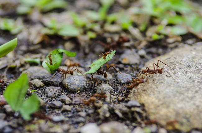 Costa Rica, Leaf-cutting ants carrying leaves — Stock Photo