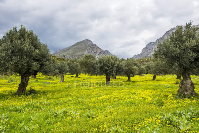 Blooming field with Olive trees, Crete, Greece — Stock Photo