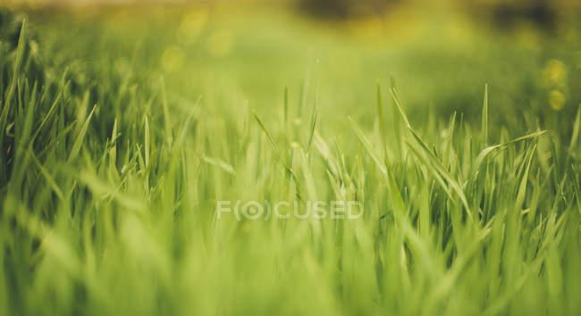 Зеленая трава на размытие фона — стоковое фото