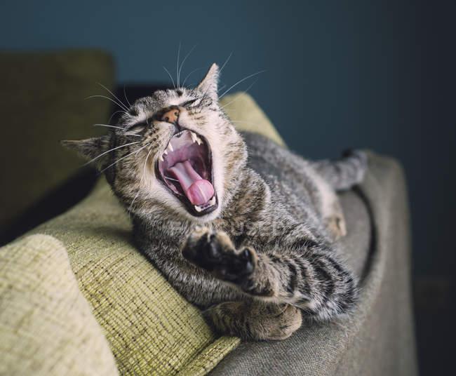 Gato bostezo acostado en el respaldo de un sofá - foto de stock