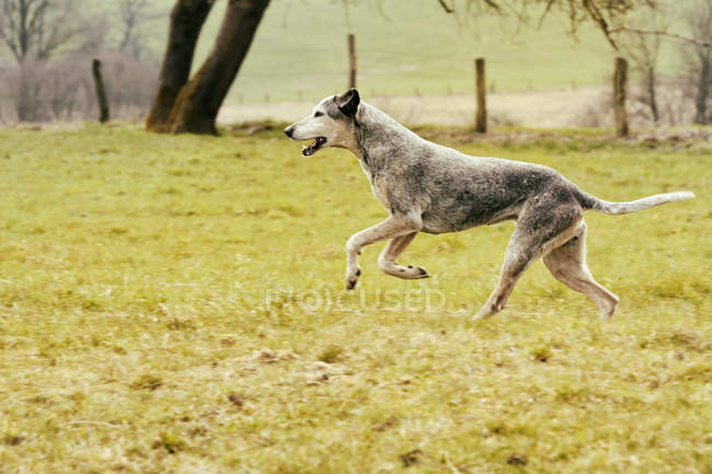 Dog running on meadow at daytime — Stock Photo