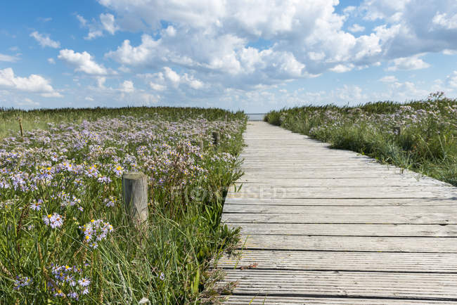 Wooden boardwalk and sea aster, Kampen, Sylt, Schleswig-Holstein, Germany — Stock Photo