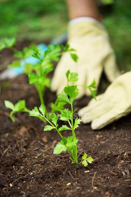Mãos de mulher plantando ervas no jardim — Fotografia de Stock