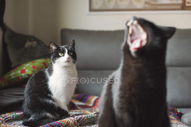 Кошка, наблюдая за другой Кот рыскание на одеяло — стоковое фото