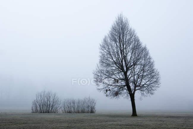 Austria, Mondsee, albero nudo nella nebbia mattutina — Foto stock