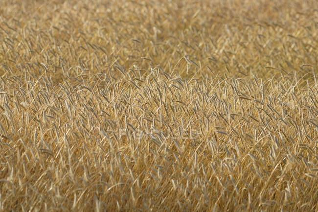 Campo de grãos vista close-up — Fotografia de Stock